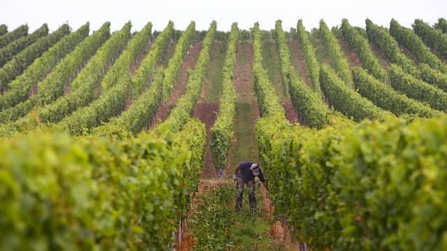 Ein Winzer kontrolliert und pflegt die Weinstöcke in Sommerach.