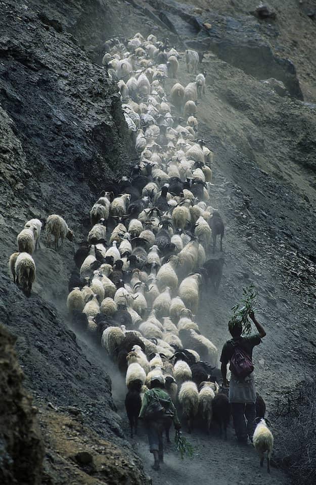 Das geschorene Fell eines Schafs reicht für fünf Pullover. Für ein einziges Modell aus Kaschmir braucht es das Haar von fünf Ziegen.