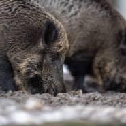 Zwei Wildschweine steht auf einem Plateau im Wald und wühlen bei der Futtersuche mit der Schnauze im Erdboden.