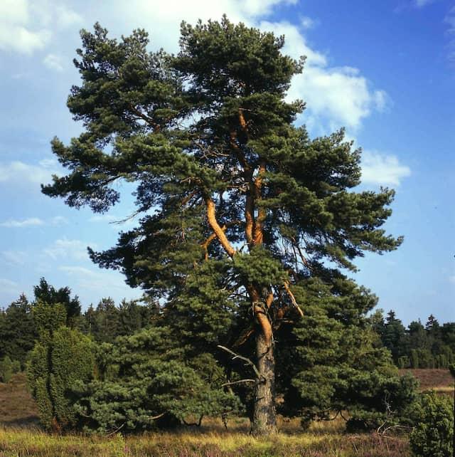 Die Kiefer zählt im deutschen Forst zu den häufigsten Bäumen.