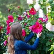 Blütenpracht: Hibiskus moscheutos liebt heiße Sommer.