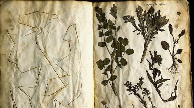 Aus den alten Beständen des Herbier de Paris: Herbarium des Jehan Girault (1558) mit Pflanzen überwiegend aus der Umgebung Lyons