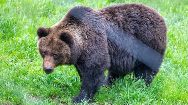 In der Slowakei leben rund 1200 bis 1600 Braunbären. (Symbolbild)