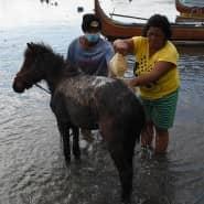Philippiner befreien ihr Pferd von der Vulkanasche.