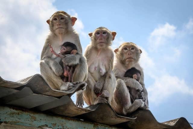 Weibliche Langschwanzmakaken sitzen mit ihren Jungen auf einem Dach.