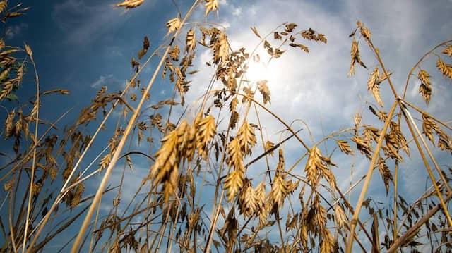 Erleichterte Züchtung: Das Weizen-Genom ist vollständig entschlüsselt.