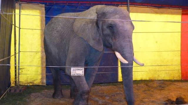 """Verhaltensauffällig: Elefantenkuh """"Baby"""""""