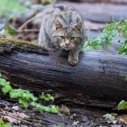 Scheue Samtpfoten: Der BUND untersucht den Bestand der Wildkatzen.