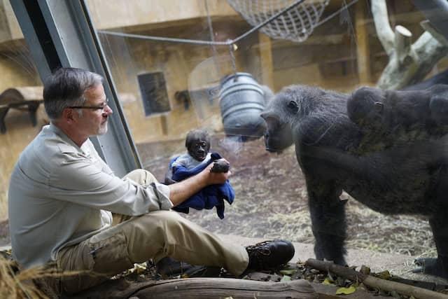 ierpfleger Klaus Meyer hält im Zoo Hannover das Gorillababy Yanda in den Händen und zeigt es einer Schimpansenmutter mit Kind, die durch eine Glasscheibe schauen.