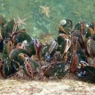 Miesmuscheln zählen zum Speiseplan der Seesterne.