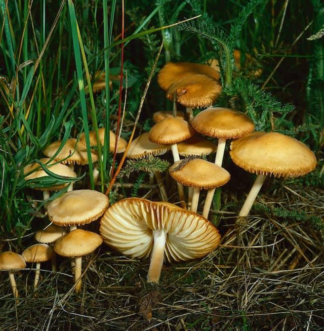 Nelken-Schwindling (Marasmius oreades) ernährt sich von Humus, bildet aber keine Rhizomorphen aus.
