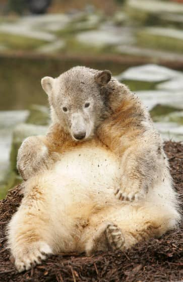 Knut als Jungtier