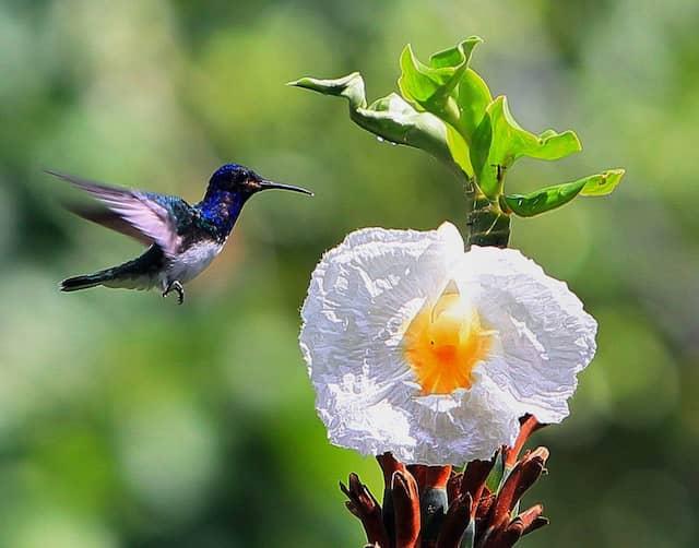 Ein Kolibri im Soberania Natioalpark:  In dem kleinen Land gibt es mehr Arten von Vögeln, Säugetieren und Reptilien als in den Vereinigten Staaten und Kanada zusammen.