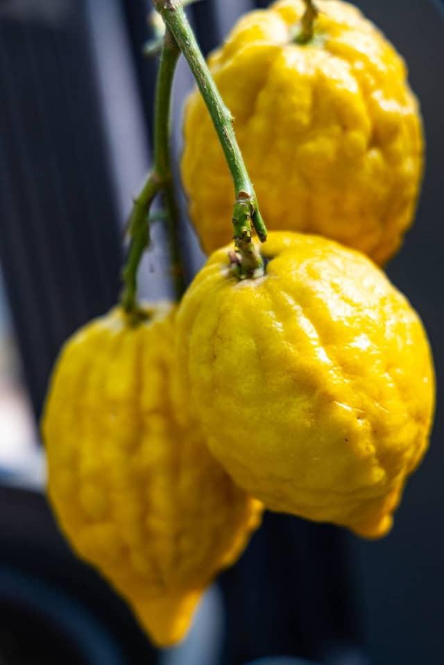 "Griffige Schale: Citrus medica ""Etrog""."