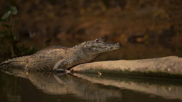 Ein Alligator im Wasser (Symbolbild)