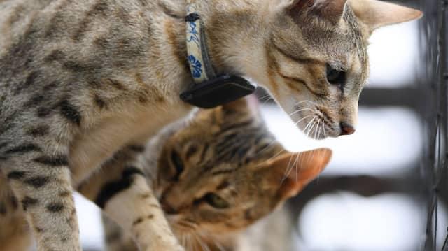 Teures Schmusetier:  Savannah-Katzen kosten bis zu 10.000 Euro.