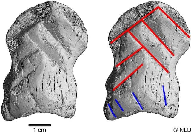 Nicht erst der Homo sapiens konnte Symbolik: Die hier durch die roten und blauen Linien verdeutlichten Kerben des neandertalischen Schnitzers sind auffällig exakt und somit nicht zufällig.