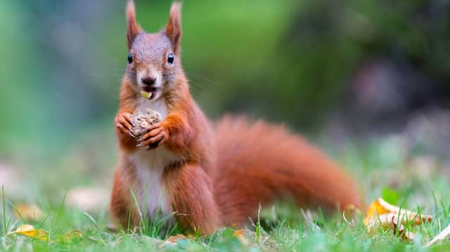 Gutes (rotes) Eichhörnchen - leider aus Dresden