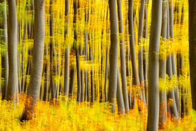 Die Rotbuchen prägen viele Wälder der Schwäbischen Alb: ihre grauen Stämme stehen im Kontrast zum herbstlichen Laub und erzeugen die für die Alb so charakteristische Kulisse.