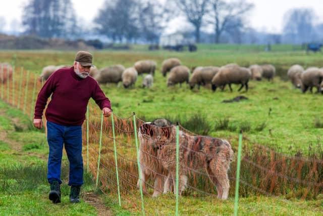 Auf der Hut: Ein Schäfer kontrolliert mit seinen Hunden einen neu errichteten Elektro-Zaun zum Schutz seiner Herde.