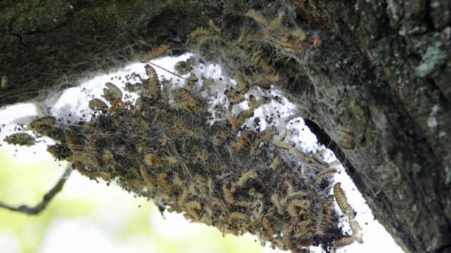 Plage im Laubwald: ein Nest mit Raupen des Eichenprozessionsspinners
