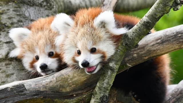 Nachwuchs: Junge Rote Pandas im Opel-Zoo in Kronberg