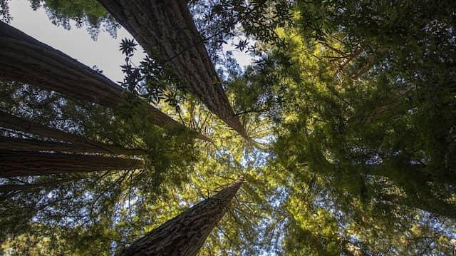 Mammutbäume: Beim Thema Nachhaltigkeit müssen es nicht immer die größten Unternehmen sein, die einen positiven Beitrag leisten.