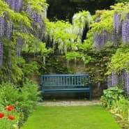 Blütenregen in Lila und Weiß: Die Pracht von Wisteria sinensis  ist nicht so leicht zu toppen.