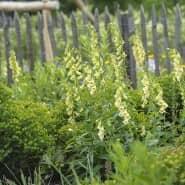 Ein natürliches Garten-Ensemble, in dem der Fingerhut mit seinen gelbgrünen Blüten die Hauptrolle spielt.