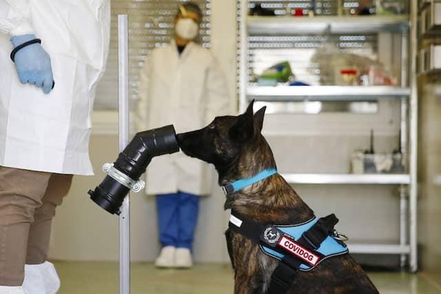 Der Hund Roma wird von ihrem Trainer Massimiliano Macera am Biomedizinischen Campus in Rom darauf trainiert, am Schweiß eines Menschen zu erkennen, ob dieser mit dem Corona-Virus infiziert ist.